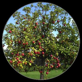 appelbomen kopen