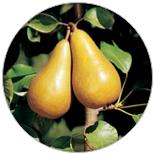 doyenne du comice perenboom