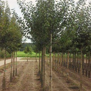 3.2 Pruimenboom 16-18 cm.