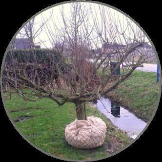 pruimenbomen-kopen